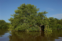 A mangrove tree with the entrance to Photographer Tim Laman's blind on the Orinoco River Delta, Venezuela.