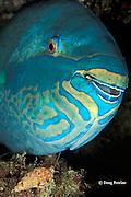 parasitic vampire snail, Colubraria sp., extends feeding proboscis to mouth of sleeping parrotfish at night, Similan Islands, Thailand ( Andaman Sea - Indian Ocean )