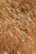 Wheat, ready for harvest, Narrabri, NSW, Australia