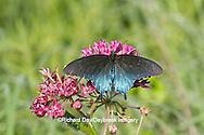 03004-01313 Pipevine Swallowtail butterfly (Battus philenor) male on Purple Milkweed (Asclepias purpurascens) Barton Fen in Reynolds Co., MO