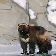 Wolverine (Guio gulo) adult on a frozen river during winter in the Rocky Mountains of Montana. Captive Animal