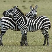 Burchell's Zebra (Equus burchelli) in Tanzania, Africa.