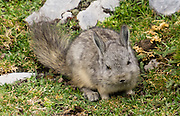 The northern viscacha (Lagidium peruanum) is a cute rodent in the Chinchillidae family. Day 2 of 9 days trekking around the Cordillera Huayhuash in the Andes Mountains, Peru, South America.