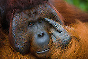 A close-up of a dominant male orangutan (Pongo pygmaeus) pointing his index finger on his face nd large cheek flanges, Borneo, Indonesia