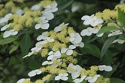 May 25, 2017 - Ji'An, Ji'an, China - Ji'an, CHINA-May 25 2017: (EDITORIAL USE ONLY. CHINA OUT) The blooming flowers look like butterflies in Suichuan County, Ji'an, east China's Jiangxi Province, May 25th, 2017. (Credit Image: © SIPA Asia via ZUMA Wire)