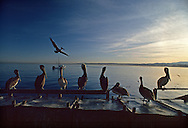 Pelicans along the wharf in Monterey, California
