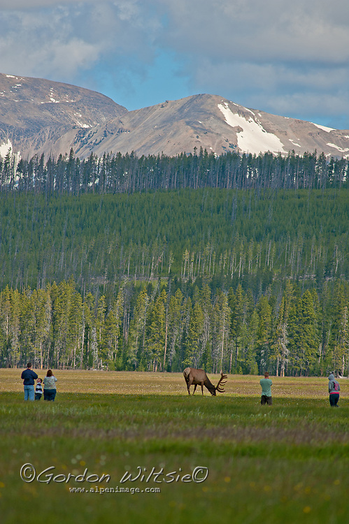 Tourists wander dangerously close to Elk grazing in Yelowstone National Park, Wyoming. Dome Mountain rises in the background.