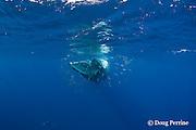 Bryde's whale, Balaenoptera brydei or Balaenoptera edeni, feeding on baitball of sardines, Sardinops sagax, off Baja California, Mexico ( Eastern Pacific Ocean ) #3 in sequence of 7