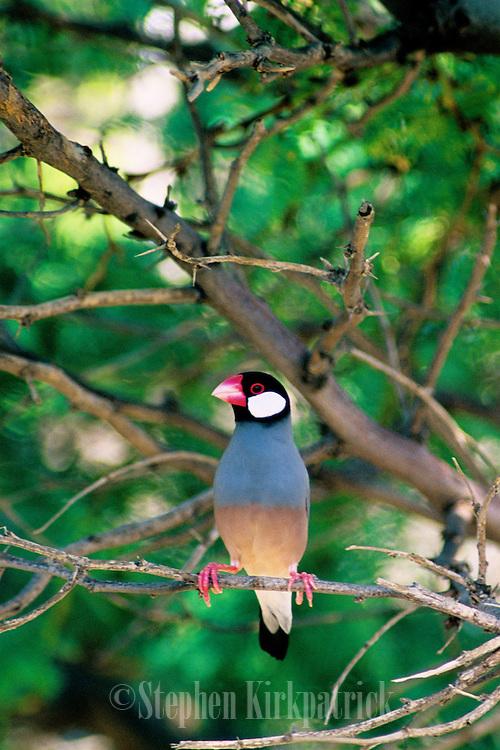 Java Sparrow (Padda oryzivora) - Kona, Hawaii