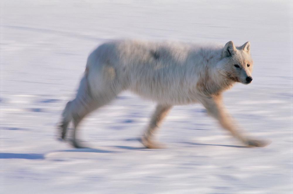 Wolf, Canis lupus, Ellesmere Island, Nunavut, Canada, Arctic