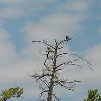 Bald Eagles (Haliaeetus leucocephalus) perches in a dead white pine by Lake of the Woods, Ontario, Canada.