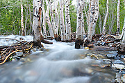 Long exposure of a stream running through a cluster of trees on the shores of Convict Lake, near Mammoth Lakes, California.