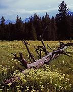 Sulfur Buckwheat, Eriogonum umbellatum, blooming in meadow with the Teton Range  beyond, north of Arizona Island, Grand Teton National Park, Wyoming.