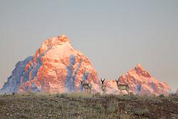 Pronghorn Antelope, Grand Tetons
