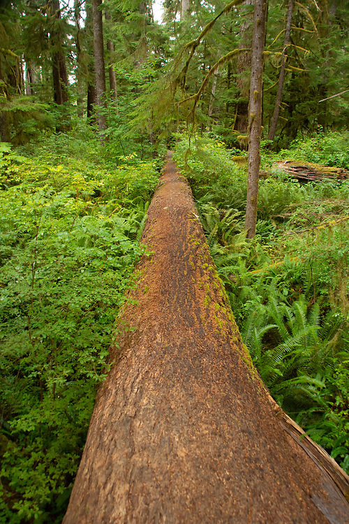 Fallen Douglas fir tree bisects the temperate rainforest. Location: Quinault Rain Forest Trail, Olympic National Forest, Washington, US
