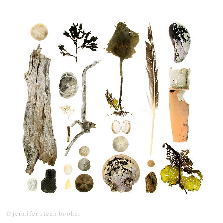 Sand Dollar (Echinarachnius parma), driftwood, beach stone, Rockweed (Fucus distichus) covered with Coiled Tube Worms (Spirorbis spirillum), aluminum can bottom, Coralline (Corallina officinalis), bone, Common Slipper Shell (Crepidula fornicata), sea glass, Hollow-stemmed kelp (Laminaria longicruris), Soft-shell Clam (Mya arenaria), Atlantic Sea Scallop (Placopecten magellanicus), feather, Tortoise-shell Limpet (Testudinalia testudinalis), plastic fragment with crustose coralline (not sure of species), kelp (again, not sure of species.)