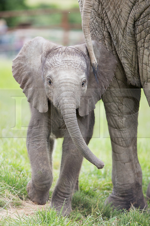 """@Licensed to London News Pictures 16/06/2014. Howletts Wild Animal Park, Bekesbourne, Kent, UK. African elephant calf, as of yet unammed, was born just a week ago at Howletts Wild Animal Park in Kent and is seen here bonding with the other family members in the paddocks. It is claimed that """"2 out of 3 elephants born in the UK are born at Howletts"""" says Damian Aspinal, Chairman of the Aspinal Foundation.Photo credit: Manu Palomeque/LNP"""