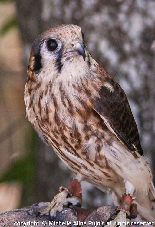 Female American Kestrel, Falco sparverius, a bird of prey.
