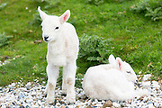 Lambs relaxing on warm pebbles, Isle of Skye, the Western Isles of Scotland, UK
