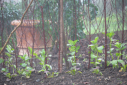Newly planted out Broad bean 'Superaguadulce' with pea sticks for support with Mustard 'Red Giant'.  Is this the same as Vicia faba 'Aquadulce Claudia'?