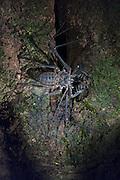 Tailless Whip Scorpion (Amblypygi) (Heterophrynus sp.?)<br /> Mapari<br /> Rupununi<br /> GUYANA<br /> South America