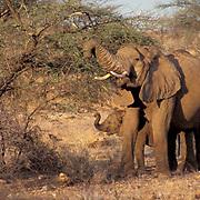 African Elephant, (Loxodonta africana)  Mother and baby on acacia tree. Kenya, Africa.