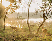 Deers in the morning light at the Ranthambore National Park, a tiger reserve game drive.