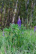 Bigleaf Lupine (Lupinus polyphyllus) flowers at Elgin Heritage Park in Surrey, British Columbia, Canada