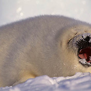 Harp Seal, (Pagophilus groenlandicus) Pup on ice pack eating snow. Nova Scotia. Canada. Spring.