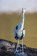 Curious Grey Heron | Nysgjerrig Gråhegre