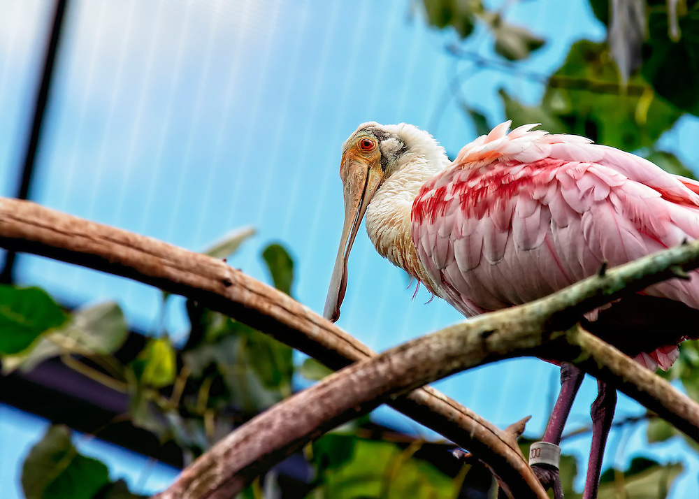 The Roseate Spoonbill is a gregarious wading bird of the ibis and spoonbill family, Threskiornithidae. A bizarre wading bird of the southern coasts, the Roseate Spoonbill uses its odd bill to strain small food items out of the water. Its bright pink coloring leads many Florida tourists to think they have seen a flamingo.
