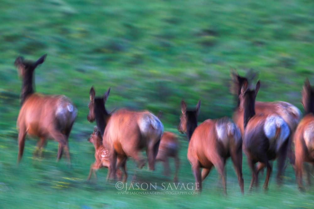 Elk on the run, Rocky Mountain Front, Montana.
