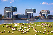 Europa, Deutschland, Koeln, Schafe auf den Rheinwiesen in Deutz, die Kranhaeuser im Rheinauhafen.<br />
