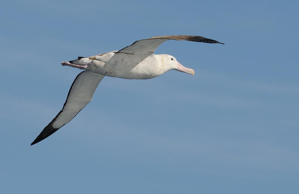 A Wandering Albatross (Diomedea exulans) in flight. Southern Ocean,  South Georgia. 17Feb16
