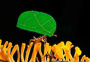 Leafcutter ant (Atta spec.) carrying a leaf fragment to nest   Blattschneiderameise (Atta spec.) traegt ihr Blatt ueber einen Pilz