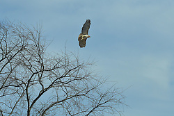 """The red-tailed hawk is a bird of prey, one of three species colloquially known in the United States as the """"chickenhawk,"""" though it rarely preys on standard sized chickens"""