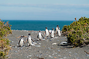 View of Magellanic Penguin (Spheniscus magellanicus) at Reserva Cabo Virgenes (Pinguinos), near Rio Gallegos, Santa Cruz Region, Argentina