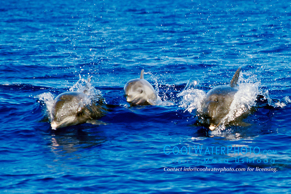 wild bottlenose dolphins wake-riding, Tursiops truncatus, two adults and a calf in middle, Big Island, Hawaii, Pacific Ocean
