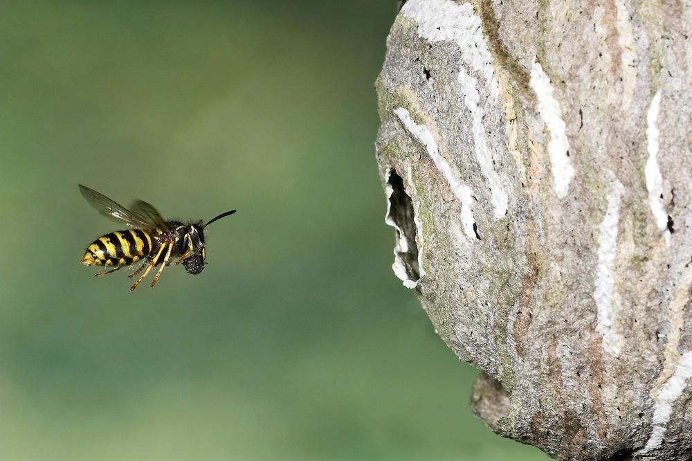 Saxon Wasp - Dolichovespula saxonica<br /> flying to nest