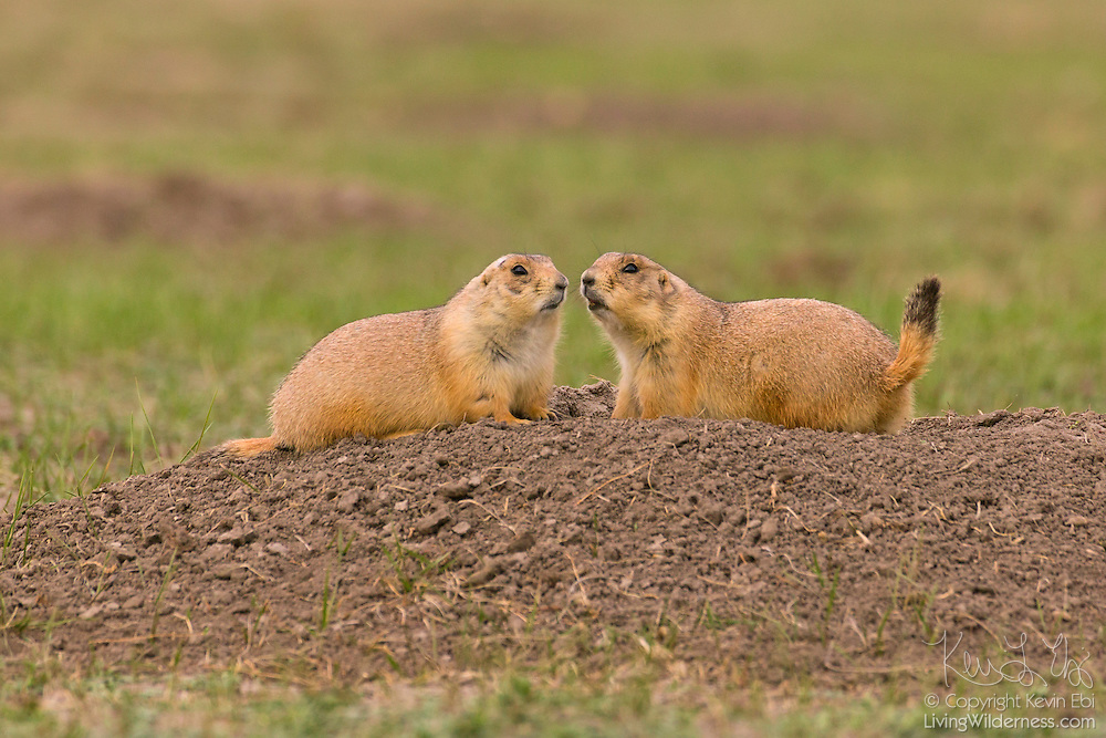 A pair of black-tailed prairie dogs (Cynomys ludovicianus) sit at the entrance to their burrow in Badlands National Park, South Dakota. Black-tailed prairie dogs are native to grassland habitats in North America. Their range stretches across the Great Plains of the United States from the Canadian border to the Mexican border.