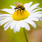 Nature in action... a bee playing its important role in pollination on a flower (daisy).