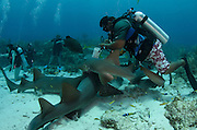 Nurse Shark (Ginglymostoma cirratum) & Black Grouper (Mycteroperca bonaci)<br /> Hol Chan Marine Reserve<br /> near Ambergris Caye and Caye Caulker<br /> Belize Barrier Reef, second largest barrier reef in the world<br /> Belize<br /> Central America