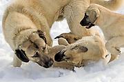 Kangal-Rüde mit seinen Welpen im Schnee spielend.