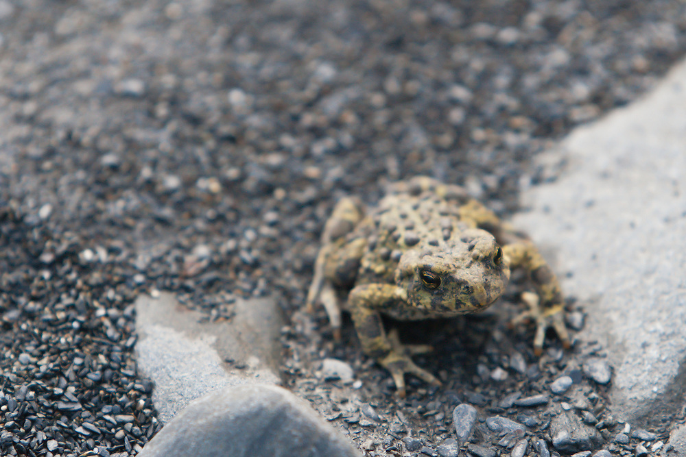 An Oregon spotted frog<br /> (Rana pretiosa) in Olympic National Park, Washington.