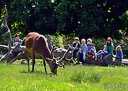 © Licensed to London News Pictures. 03/06/2013. Richmond, UK A family watches a Deer graze on grass in hot sunshine in London's Richmond Park today 3rd June 2013. Photo credit : Stephen Simpson/LNP