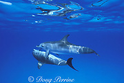 Atlantic spotted dolphins, Stenella frontalis, juveniles caressing each other with pectoral fins, Little Bahama Bank, Bahamas ( Western Atlantic Ocean )