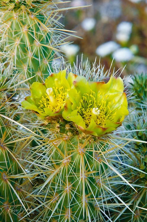 Buckhorn Cholla flower (Cylindropuntia acanthocarpa), Anza-Borrego Desert State Park, California USA