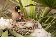 Two Hatchlings in a nest being fed by their parent Yellow-vented Bulbul (Pycnonotus xanthopygos) Photographed in Israel in May