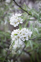 Pyrus salicifolia var. orientalis 'Pendula' AGM. Pendulous willow-leaved pear