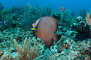 Gray Angelfish (Pomacanthus arcuatus)<br /> Hol Chan Marine Reserve<br /> Belize<br /> Central America